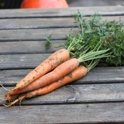 carotte fane orange ( la botte ~ 500gr )