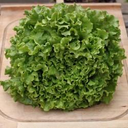 Salade feuille de chêne verte - Le Potager d'Olivier